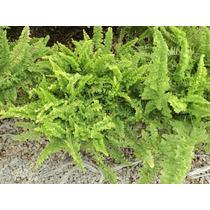 Planta Helecho Corditas Helecho Rizado