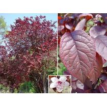 Ciruelo Rojo Ciruelo Japones Prunus Cerasifera Var. Pissardi