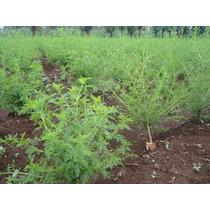 10 Plantitas De Artemisia Annua Cultivo Organico $300.00