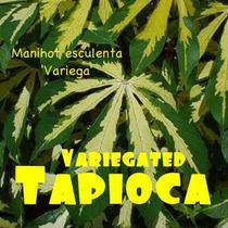 Planta Tapioca Variegada - Yuca Cubana - Cassava 4 Rizomas
