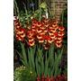 Gladiolas. Gladiolus Grandiflora. 25 Bulbos Por $ 300.-