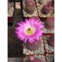 Cactus Exótico Echinocereus Rigidissimus