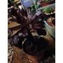 Suculenta Aeonium Arboreum (rosa Negra).