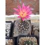 Cactus Exótico .