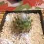 Cactus Exotico