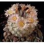 Cactus Exotico Mammillaria Bombicina