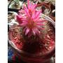 Cactus Exótico Mammillaria Grande Con Maceta