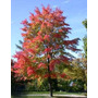 10 Semillas De Acer Rubrum L - Arce Rojo $50 Codigo 863