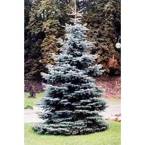 10 Semillas De Picea Pungens - Pino Azul $50 Codigo 924