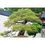 10 Semillas De Pinus Densiflora (pino Rojo Japones) Cod. 944