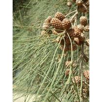15 Semillas De Casuarina Cunninghamiana - Pino Australiano