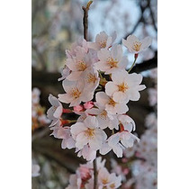 Arbol De Cerezo Japonés