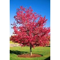 20 Semillas Arce Rojo Rubrum Maple Canadiense Arboles Jardin