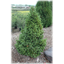 10 Semillas De Pinus Aristata - Pino De Colorado Codigo 928