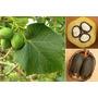Semillas De Arbol Biodiesel O Jatropha