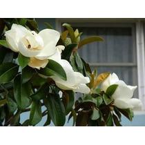 Semillas De Arbol De Magnolia
