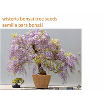 15 Semillas Wisteria Bonsai Tree Seeds Semilla Para Bonsái