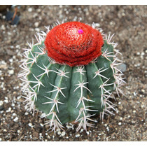 Semillas Cactus Coryphanta + Melocactus --minicactus--