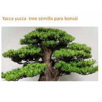 15 Semillas Yacca Tree Semilla Para Bonsái Yucca