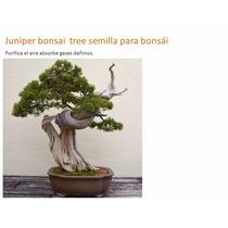 Juniper Bonsai Tree Semilla Para Bonsái