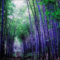 50 Semillas De Bambu Purpura Purple Bamboo