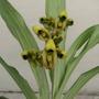 Bulbos De Orquídea, Catasetum Integerrimum, Rara Flor Verde.