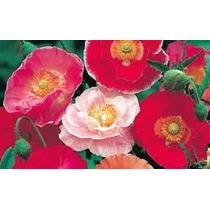 Poppy Shirley Mix 20 Semillas Flor Jardín Planta Sdqro