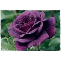 Rosa Común Purpura 10 Semillas Solo Con Mercadopago Mpsdqro