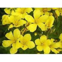 Linaza Amarilla 10 Semillas Flor Jardín Cultivo Sdqro