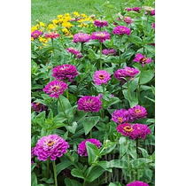50 Semillas Zinnia Elegans Prince Purpura Flores Jardin