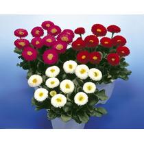 Semillas Flores Bellis Mix Jardin Sustrato Envio Gratis