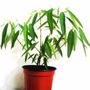 Dancing Plant 4 Semillas Solo Con Mercadopago Mpsdqro