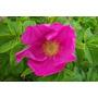 10 Semillas De Rosa Rugosa Rubra - Rosa Japonesa Codigo 530