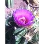 45 Semillas De Biznaga Morada, Cactus, Deserticas