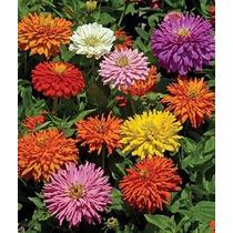 20 Semillas Cactus Flower Zinnia Elegans Annual Flor Jardin