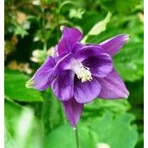Aguileña O Aquilegia 10 Semillas Flores Jardín Planta Sdqro