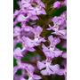 Impactante Hermosa Flor Purpura Orquidea 35 Semillas