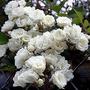 Rosa Trepadora Blanca 8 Semillas Flor Jardín Planta Sdqro