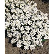 Arabis Alpina 30 Semillas Flores Rastrera Planta Sdqro