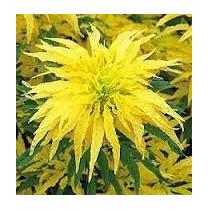 Amaranto Golden 10 Semillas Solo Con Mercadopago Mpsdqro