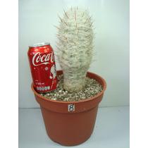 Cactus Orocereus De 8 Pulgadas Grande