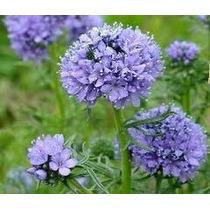 Globe Gilia 20 Semillas Jardín Flores Planta Sdqro