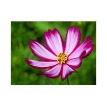 Cosmos Bicolor 20 Semillas Flor Planta Jardín Mpsdqro