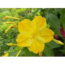 Mirabilis Jalapa Amarilla 6 Semillas Flor Jardín Sdqro