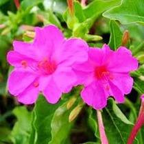 Mirabilis Jalapa Rosa 6 Semillas Aromatica Nocturna Sdqro