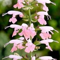 Salvia Coccinea Salmon 15 Semillas Flor Jardin Fácil Mpsdqro