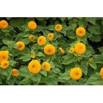 40 Semillas Sunflower Teddy Girasol Helianthus Flores Jardin