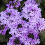 Verbena Azul 6 Semillas Solo Con Mercadopago Mpsdqro