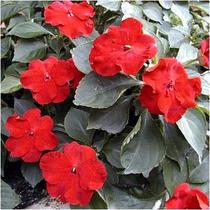 Impaciente O Belen Rojo 20 Semillas Flor Sombra Mpsdqro