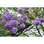 15 Semillas Rosal Trepador Violeta Flor Planta Envio Gratis